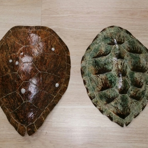 Sea Turtle Shells