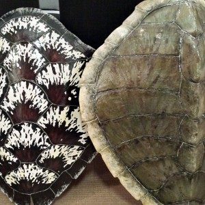 Sea Turtle Shells Collection
