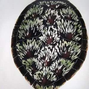 Loggerhead Sea Turtle Shell