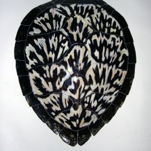 Sea Turtle Shell