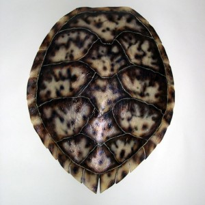 Hawksbill Sea Turtle Shell [31in x 24in]