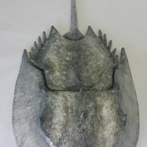 crab01-feb28